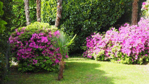 blühende Azaleen im Garten